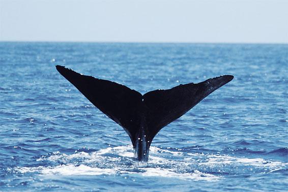 La Dominique, une destination unique pour observer les baleines